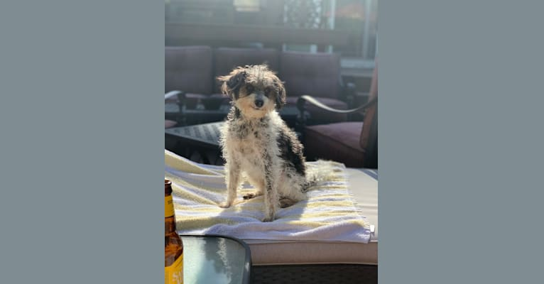 Photo of Ernie, a Miniature Schnauzer, Brussels Griffon, Chihuahua, Poodle (Small), and Maltese mix in Massapequa, New York, USA