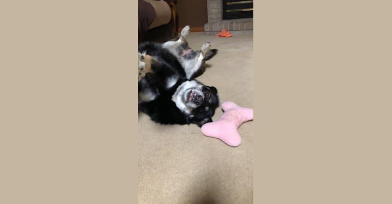 Photo of Addy, a Siberian Husky, German Shepherd Dog, and Rottweiler mix in Erie, Pennsylvania, USA
