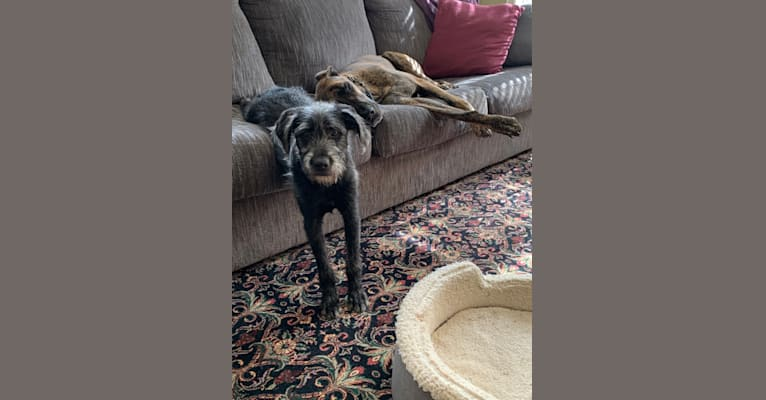 Photo of Arlo, an American Pit Bull Terrier, Labrador Retriever, Dachshund, Yorkshire Terrier, and Mixed mix in Jasper, Tennessee, USA