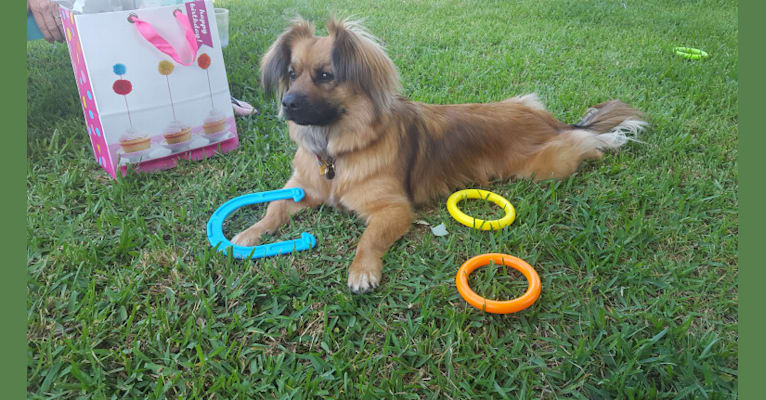 Photo of Maggie, a Pekingese and German Shepherd Dog mix in Atwater, California, USA
