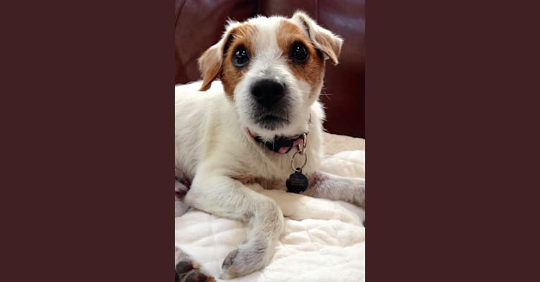 Photo of Mr. Sherman, a Russell-type Terrier  in Poulsbo, Washington, USA