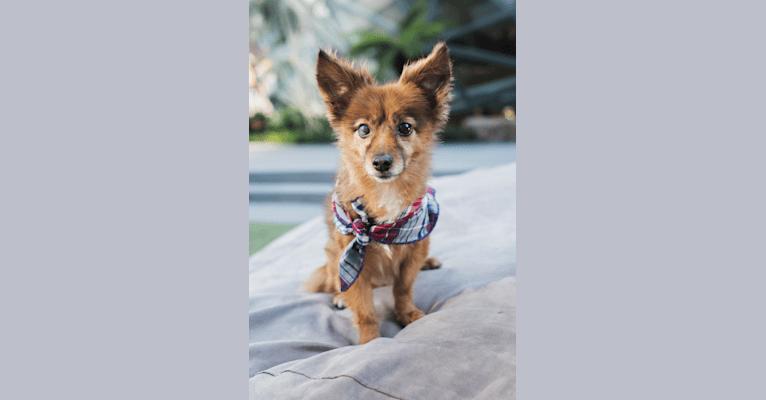 Photo of Fireball, a Pomeranian, Lhasa Apso, and Chihuahua mix in Seattle, Washington, USA