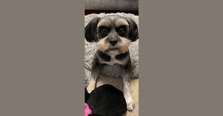 Photo of Tokki, a Shih Tzu, Pekingese, Pomeranian, and Mixed mix in Baltimore, Maryland, USA