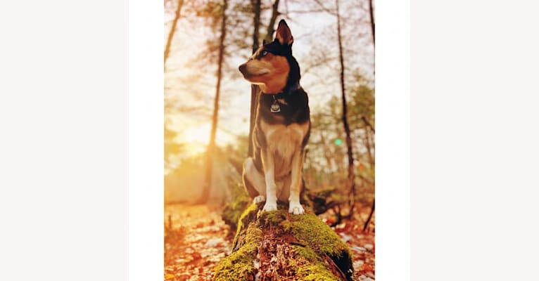 Photo of Milo, a Siberian Husky, Rat Terrier, Chihuahua, and Mixed mix in Arkansas, USA