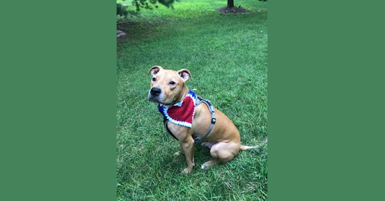Photo of Rusty, an American Pit Bull Terrier  in Clearwater, FL, USA