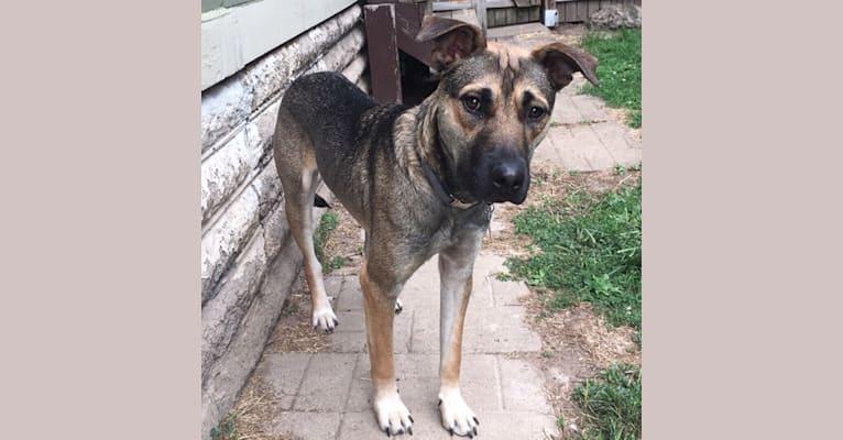 Photo of Moose, a Siberian Husky, American Bulldog, German Shepherd Dog, and Rottweiler mix in Tennessee, USA