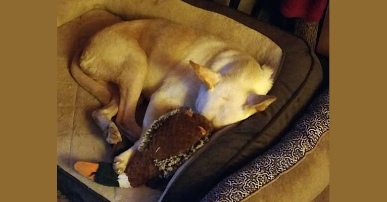 Photo of Buddy, an American Pit Bull Terrier, Labrador Retriever, American Bulldog, Great Pyrenees, Chow Chow, and Boxer mix