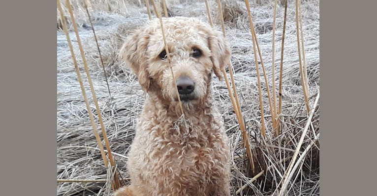 Photo of Clancy, a Labradoodle