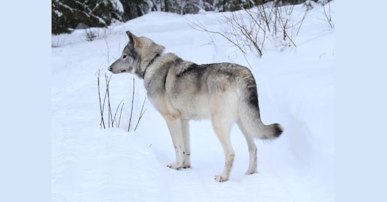 Photo of Taiga, a German Shepherd Dog, Samoyed, Norwegian Elkhound, and Siberian Husky mix