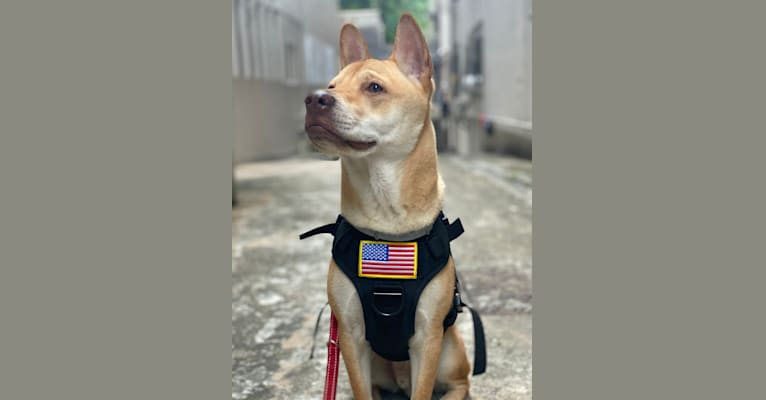 Photo of Chulo, a Vietnamese Village Dog  in Hong Kong