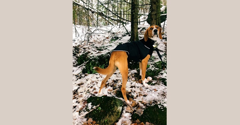 Photo of George Washington, an American Foxhound  in Montreal, Quebec, Canada