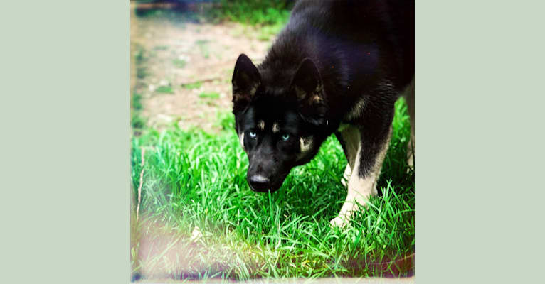Photo of Orca, a Siberian Husky, Alaskan Malamute, and German Shepherd Dog mix in Australia