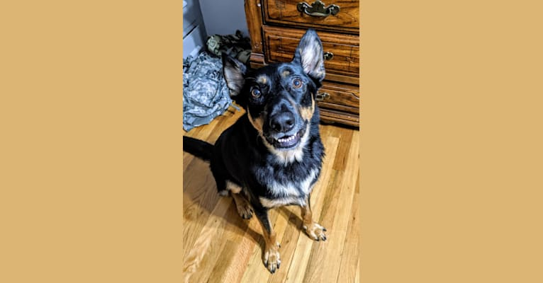 Photo of Klaus, a German Shepherd Dog and Rottweiler mix in Houston, Texas, USA