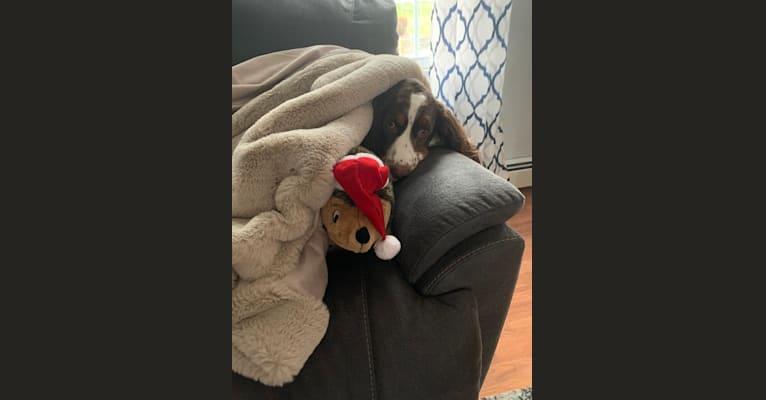Photo of Jaxson, an English Springer Spaniel  in Massachusetts, USA