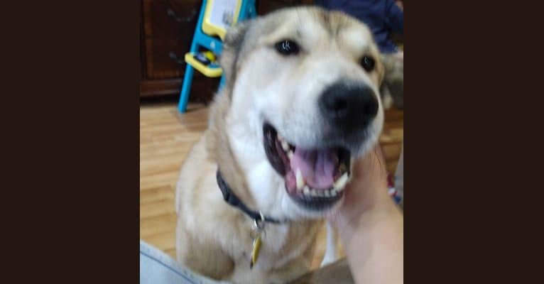 Photo of Miles, a Canaan Dog  in Alaska, USA