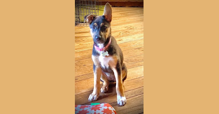 Photo of Lola, a German Shepherd Dog, American Pit Bull Terrier, and Doberman Pinscher mix in Mississippi, USA