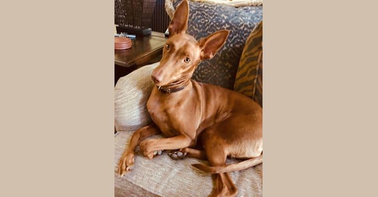 Photo of Nahla, a Pharaoh Hound  in Waco, Texas, USA