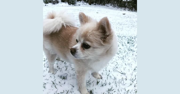 Photo of Vivien, a Pomeranian  in Milwaukee, Wisconsin, USA