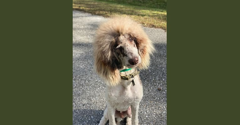 Photo of Dugans Fishing For Mahi In Wonderland, a Poodle (Standard)  in Lehigh Acres, FL, USA