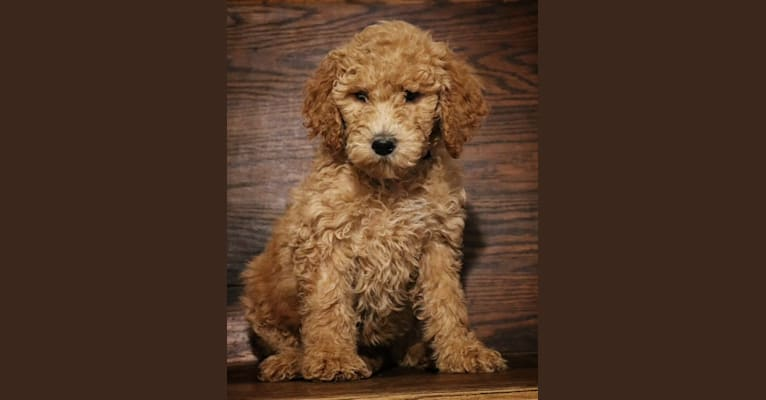 Photo of Ruby, a Goldendoodle  in Clarksville, TN, USA