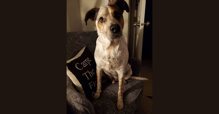 Photo of Tchoupitoulas (Chop), a Beagle, German Shepherd Dog, Australian Cattle Dog, Treeing Walker Coonhound, and American Pit Bull Terrier mix in Kentucky, USA