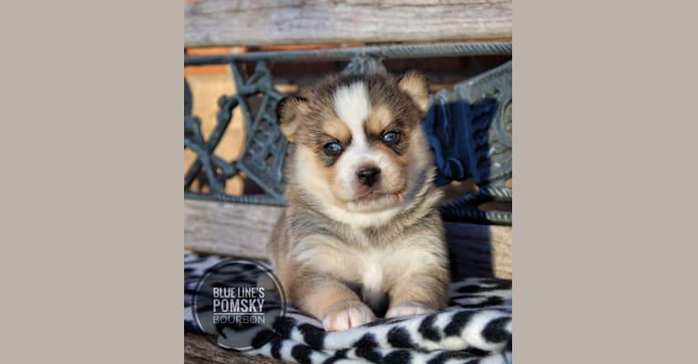 Photo of Bourbon (Whiskey's Pup), a Pomsky