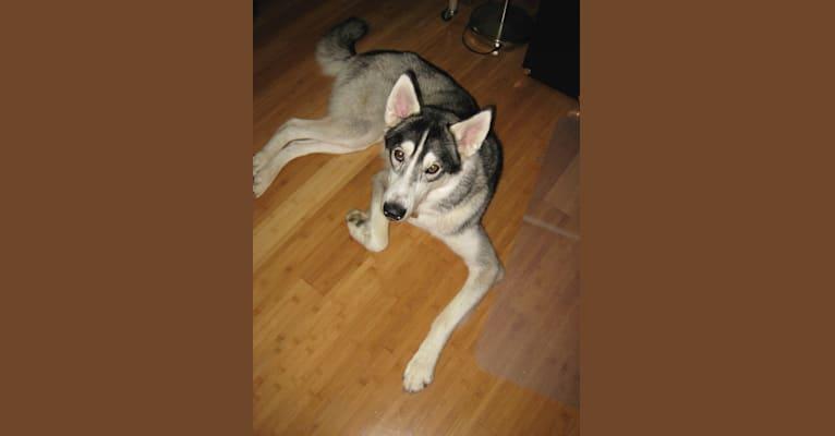 Photo of Bow-wow, a Siberian Husky and Alaskan Malamute mix in Austin, Texas, USA