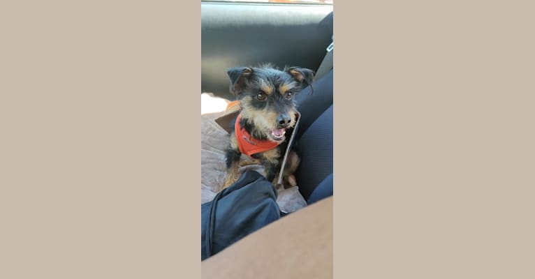 Photo of Nacho, a Chihuahua, Miniature Pinscher, Rat Terrier, Poodle (Small), and Dachshund mix in Sausalito, California, USA