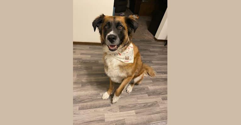 Photo of Kacey, a Saint Bernard, German Shepherd Dog, Alaskan Malamute, and Mixed mix in Bismarck, North Dakota, USA