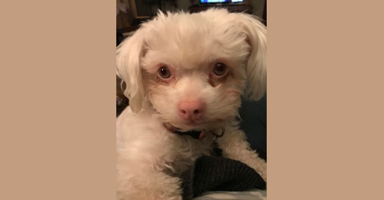 Photo of Luna, a Chihuahua, Poodle (Small), Pomeranian, Shih Tzu, and Mixed mix in Pasco, Washington, USA