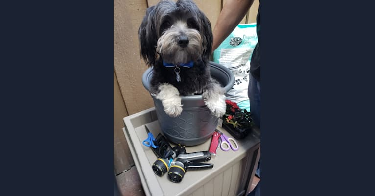Photo of Benny, a Poodle (Small), Chihuahua, Maltese, and Shih Tzu mix in United States