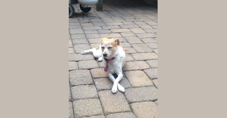 Photo of Eve, a Rat Terrier and Chihuahua mix in Denville, New Jersey, USA