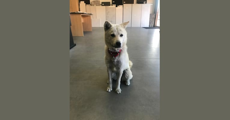 Photo of Silver, a Jindo and Chow Chow mix in null