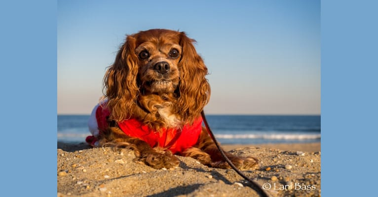 Photo of Sparky, a Cavalier King Charles Spaniel  in West Virginia, USA