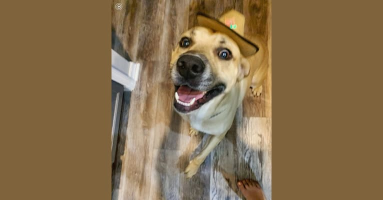 Photo of Max, an American Pit Bull Terrier, Australian Cattle Dog, Great Pyrenees, Plott, and Mixed mix in Vinton, Louisiana, USA