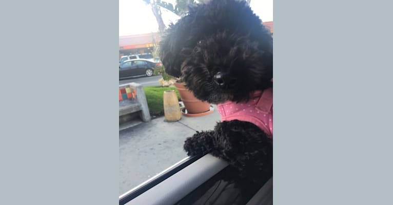 Photo of Noah Marcel, a Poodle (Small) and Bichon Frise mix in Clark, MO, USA