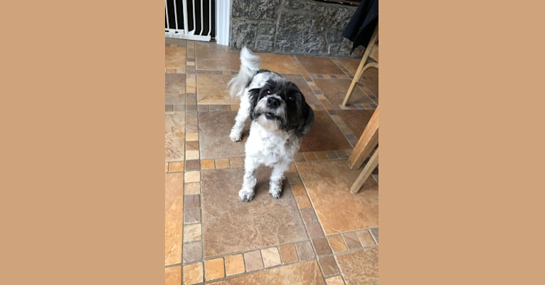 Photo of Kendall, a Tibetan Terrier  in New York, USA