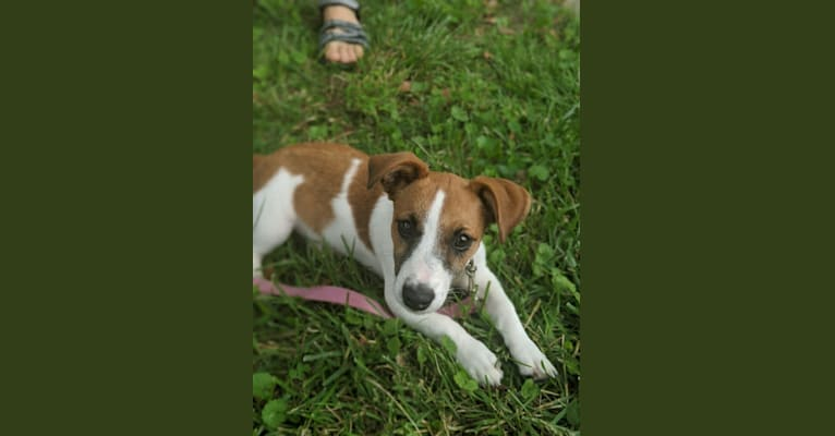 Photo of Stella Quarantena, a Russell-type Terrier  in Holtwood, Pennsylvania, USA