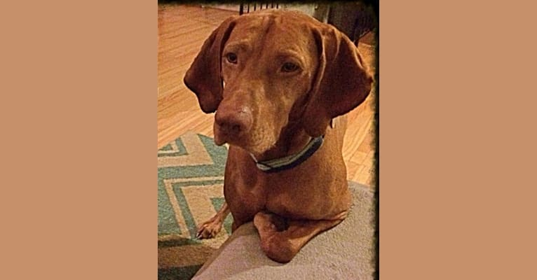Photo of Viggo, a Vizsla  in Delavan, Illinois, USA