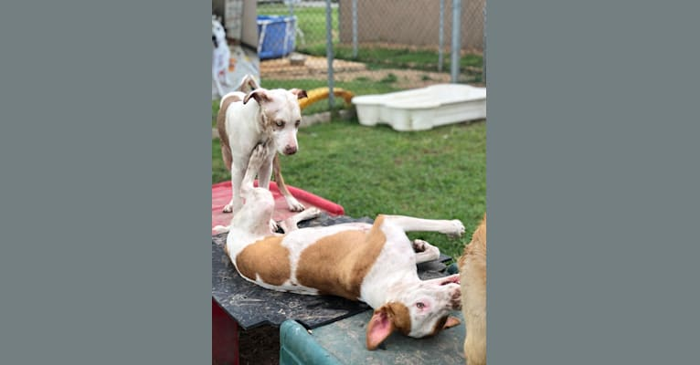 Photo of Cupid, an American Pit Bull Terrier, Great Pyrenees, and Mixed mix in Tomball, Texas, USA