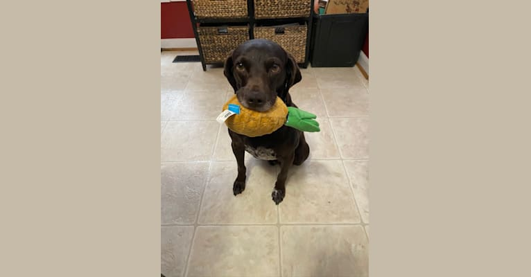 Photo of Ricky, a Boykin Spaniel, German Shorthaired Pointer, Pointer, and English Cocker Spaniel (Working Type) mix in Virginia, USA
