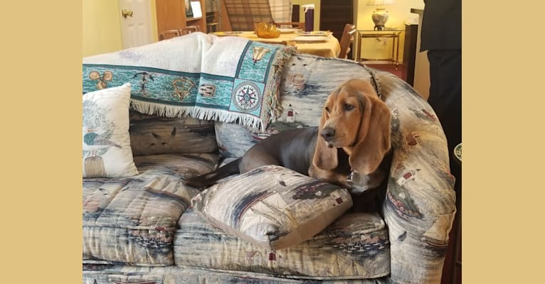 Photo of Merryweather, a Basset Hound  in Lindenhurst, New York, USA