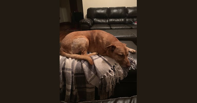 Photo of Maya, an American Pit Bull Terrier, American Staffordshire Terrier, German Shepherd Dog, Labrador Retriever, and Chow Chow mix in Indianapolis, Indiana, USA