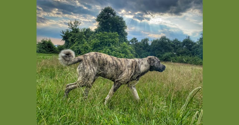 Photo of Temujin, the Heartbreaker, an Anatolian Shepherd Dog (5.6% unresolved) in Tennessee, USA