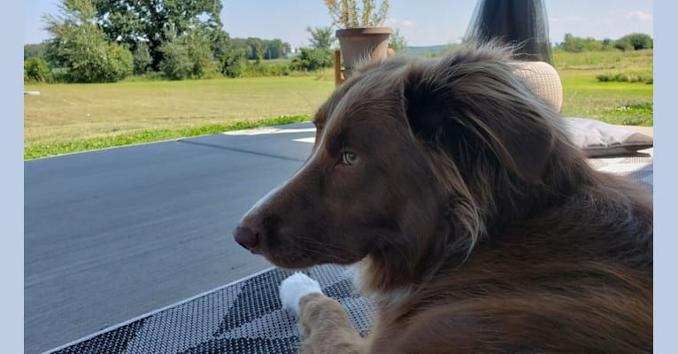 Photo of Chili, a Border Collie, English Springer Spaniel, and Australian Shepherd mix in Wisconsin, USA