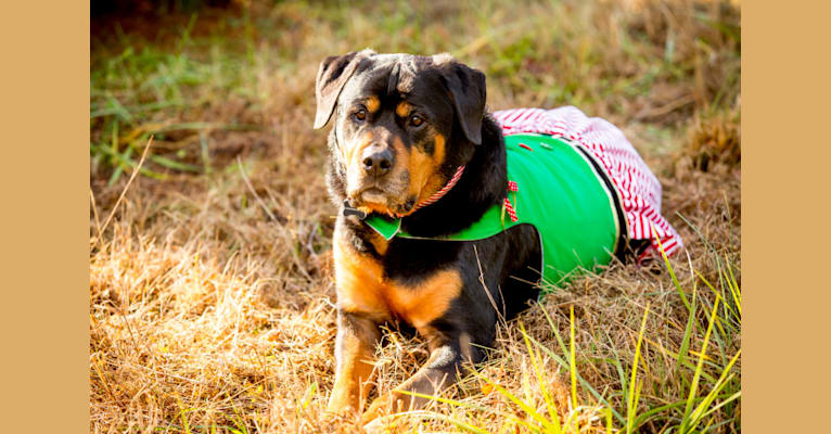Photo of Adeline, a Rottweiler  in Lancaster, Pennsylvania, USA