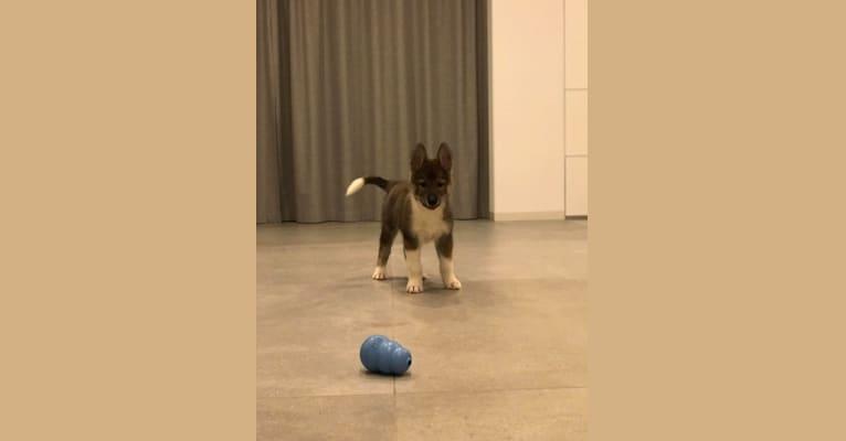 Photo of William, a Siberian Husky, Alaskan-type Husky, Czechoslovakian Vlcak, Alaskan Malamute, and German Shepherd Dog mix in Jesionna, Polska