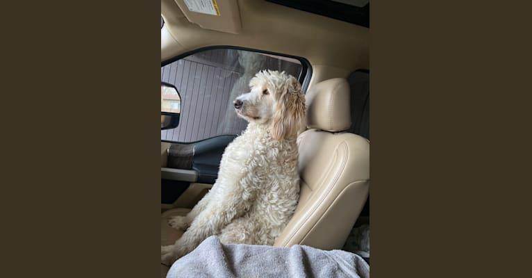 Photo of Abby, a Llewellin Setter, Poodle (Standard), and Golden Retriever mix in Klamath Falls, Oregon, USA