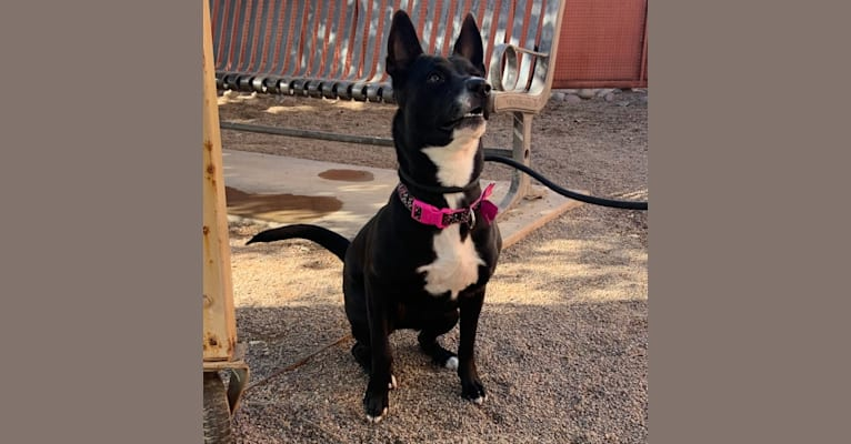 Photo of Ceci, an American Pit Bull Terrier, Australian Cattle Dog, Chow Chow, and Mixed mix in Phoenix, Arizona, USA