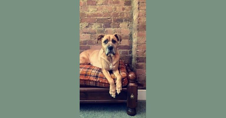 Photo of Bodhi, a Boxer, Staffordshire Terrier, and Labrador Retriever mix in Cincinnati, Ohio, USA